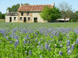 Texas Wildflowers 3